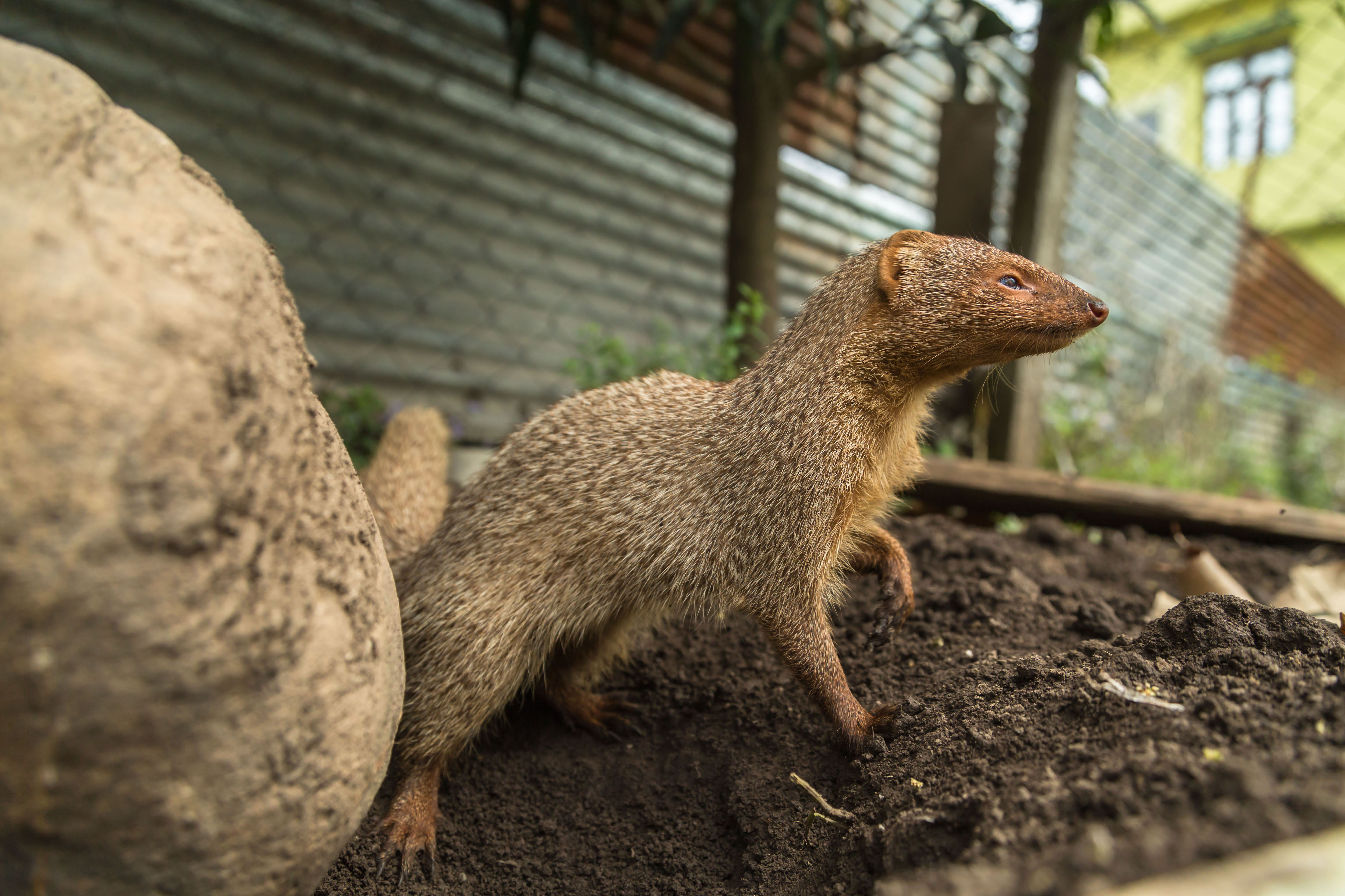 RAJESH THAPLIYAL photographed this mongoose in the garden of his house in Rishikesh, Uttarakhand.