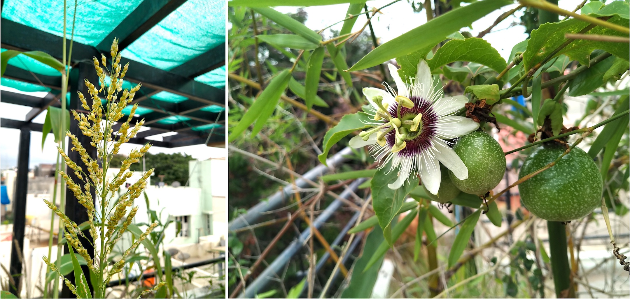 Sorghum (left) grew easily and fast on my terrace, while I also harvested many a crop of passionfruit (right) that had climbed over the bamboo. Photos: Nisarg Prakash