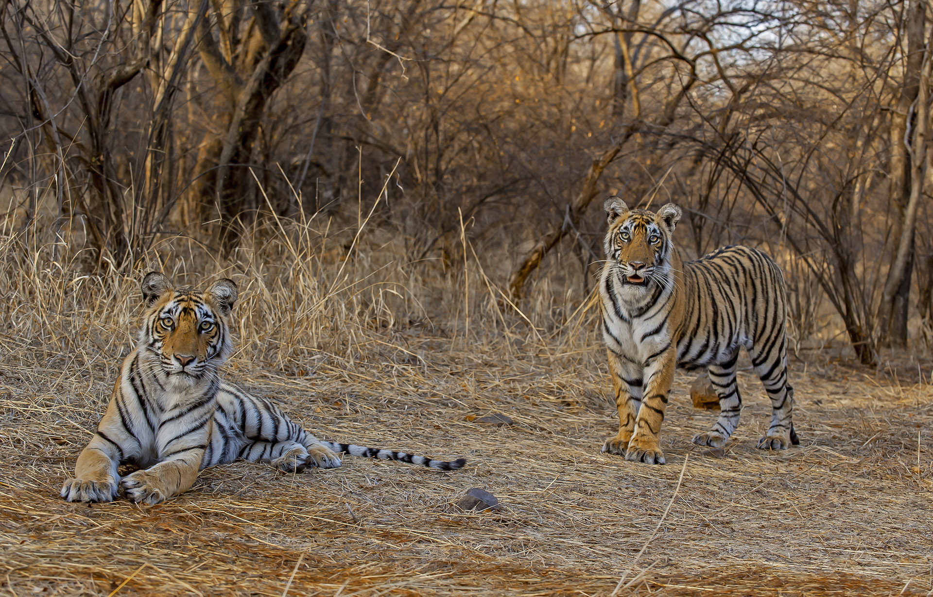 """Cubs begin exploring without the mother around 18 months of age. """"When female offspring become older and start getting more independent, they start using their mother's territory,"""" says Chatterjee. """"It is well established that female offspring will often try to settle adjacent to the mother's territory, while males move farther out and establish very independent territories from that of the mother."""""""