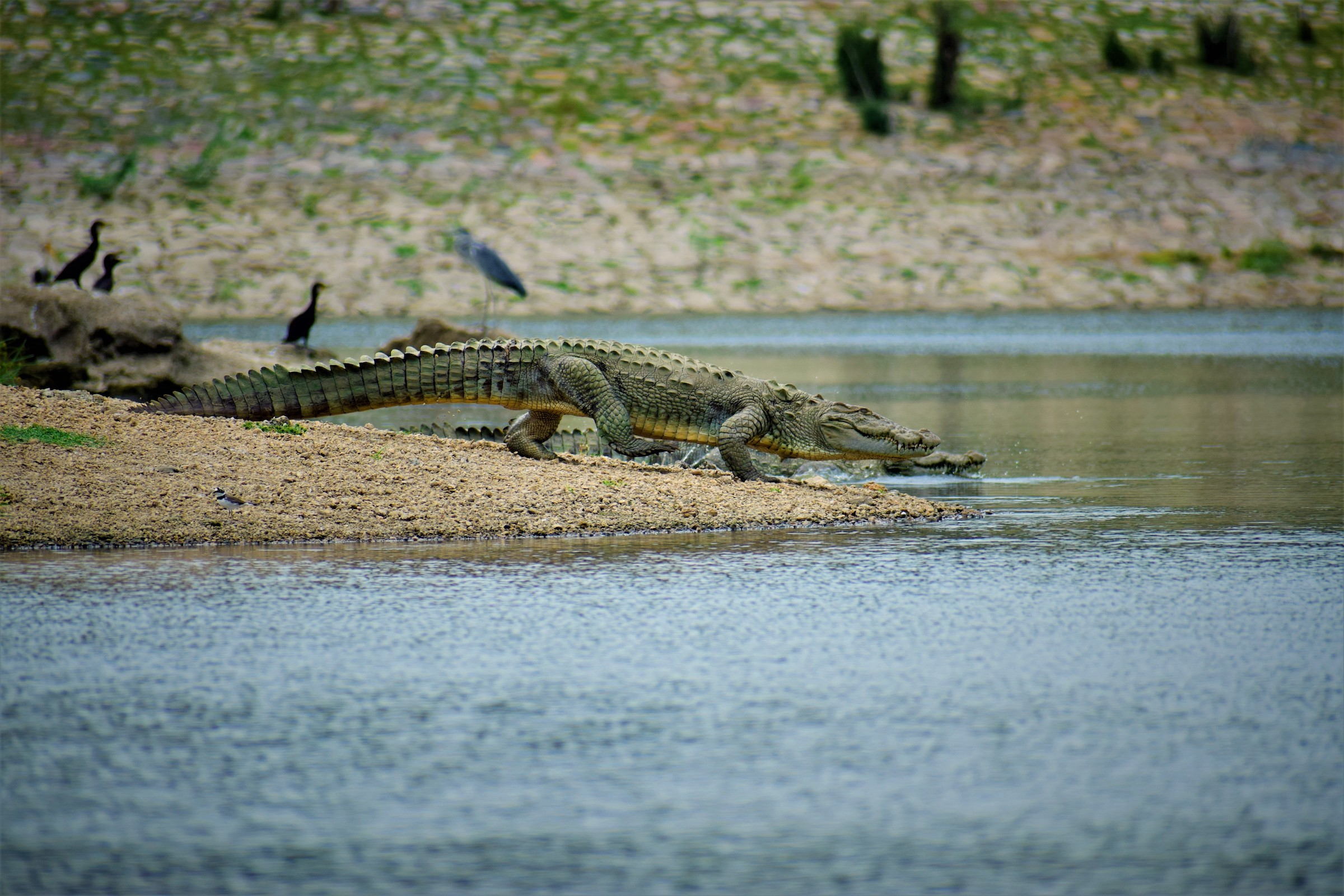Marsh crocodiles (Crocodylus palustris) can be seen around reservoirs of dams and anicuts within the sanctuary. In the winter of 2018 Bishnoi counted around 50 near the Seli dam, where they were basking in the warm sunshine along the banks of the reservoir.