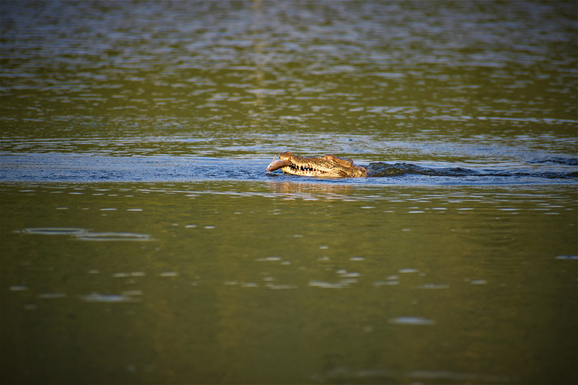 Muggers (marsh crocodiles) primarily feed on fish found in the reservoir but, if necessary, can survive for months without eating. Once water levels in the reservoir recede, they disperse to other waterbodies nearby.