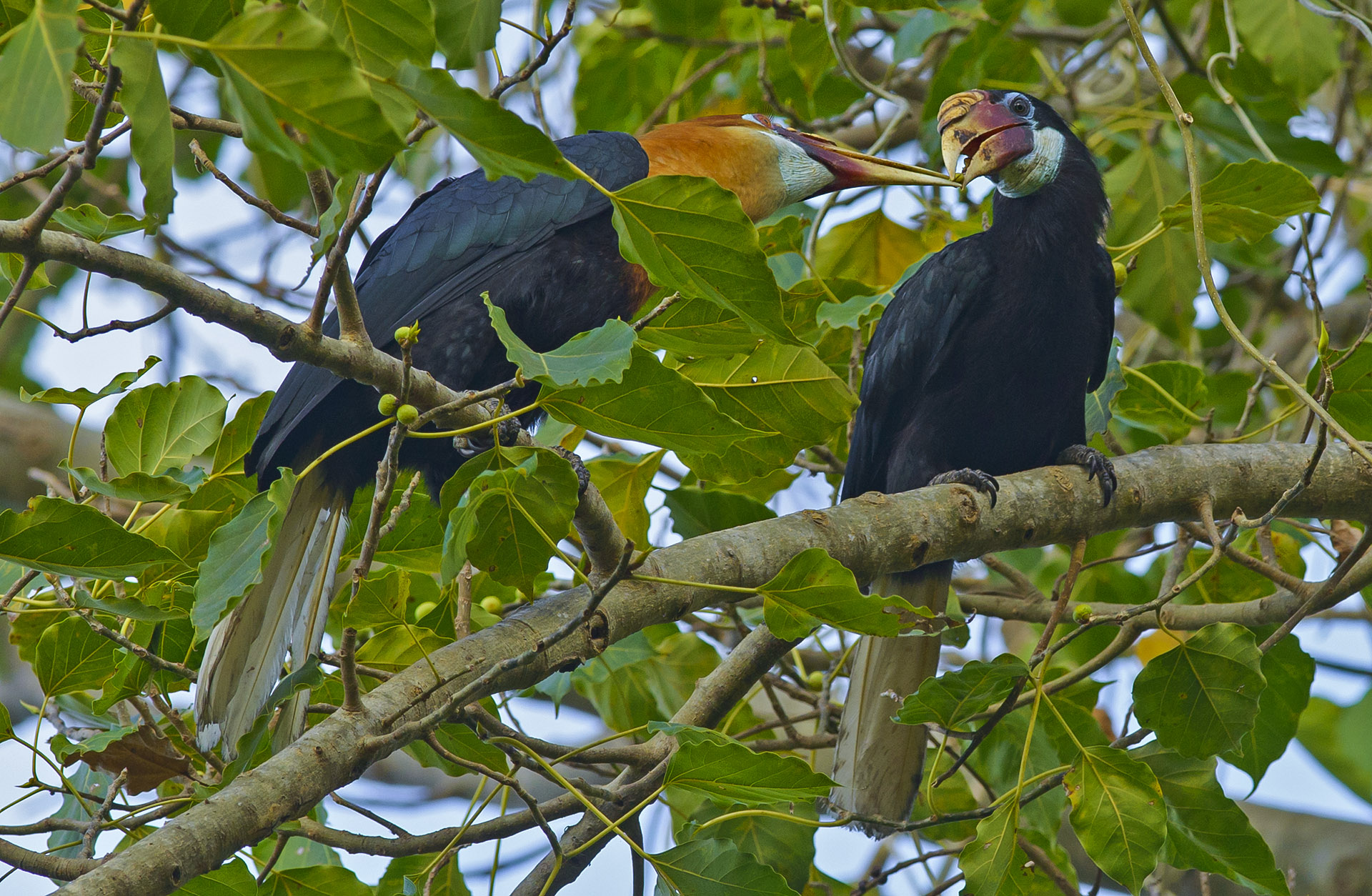 It is estimated that there are 1,000 hornbills on the island. Seen here is a male bird feeding a female as part of their courtship. 
