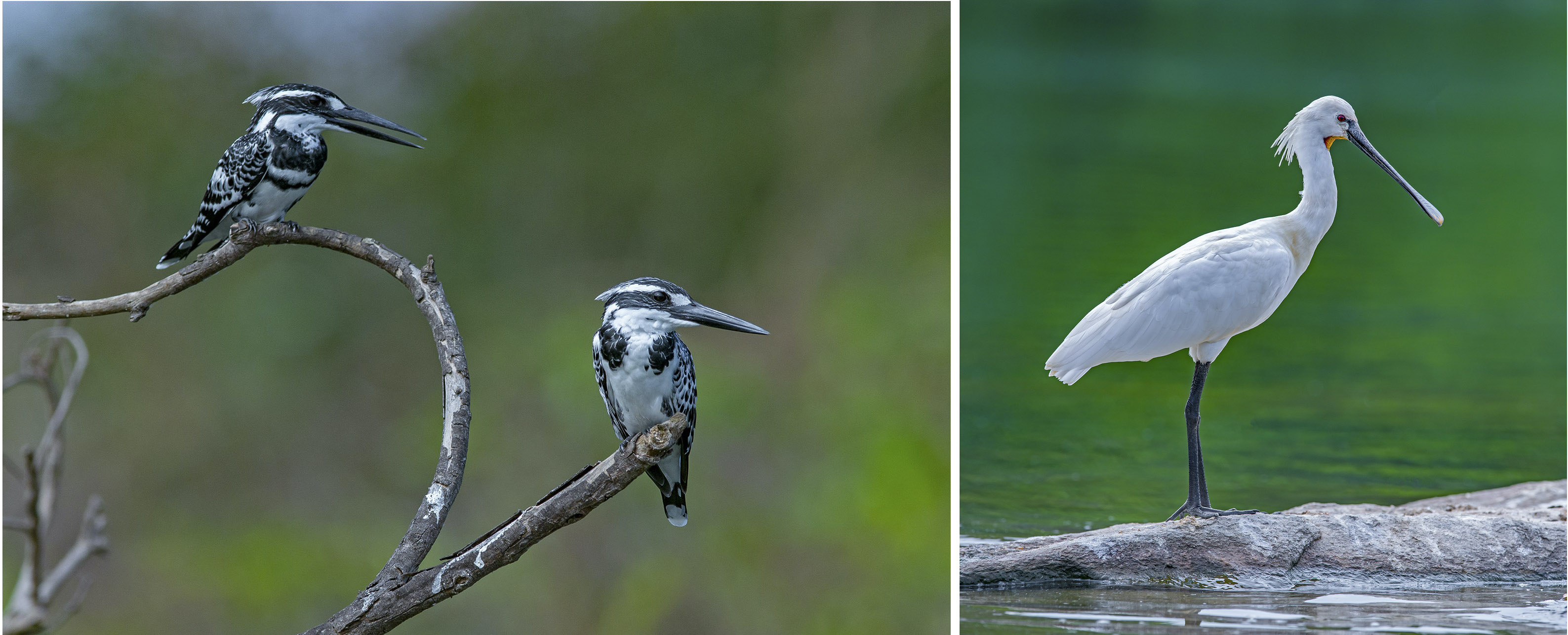 Pied kingfishers are often spotted perched along rivers and waterbodies. They form monogamous pairs and have elaborate courtships displays that include dancing, calling, and the male bringing the female treats to win her over. (Right) Long-legged spoonbills move their partially open, spoon-shaped bills from side-to-side while foraging for crustaceans, insects, and small fish in the water.