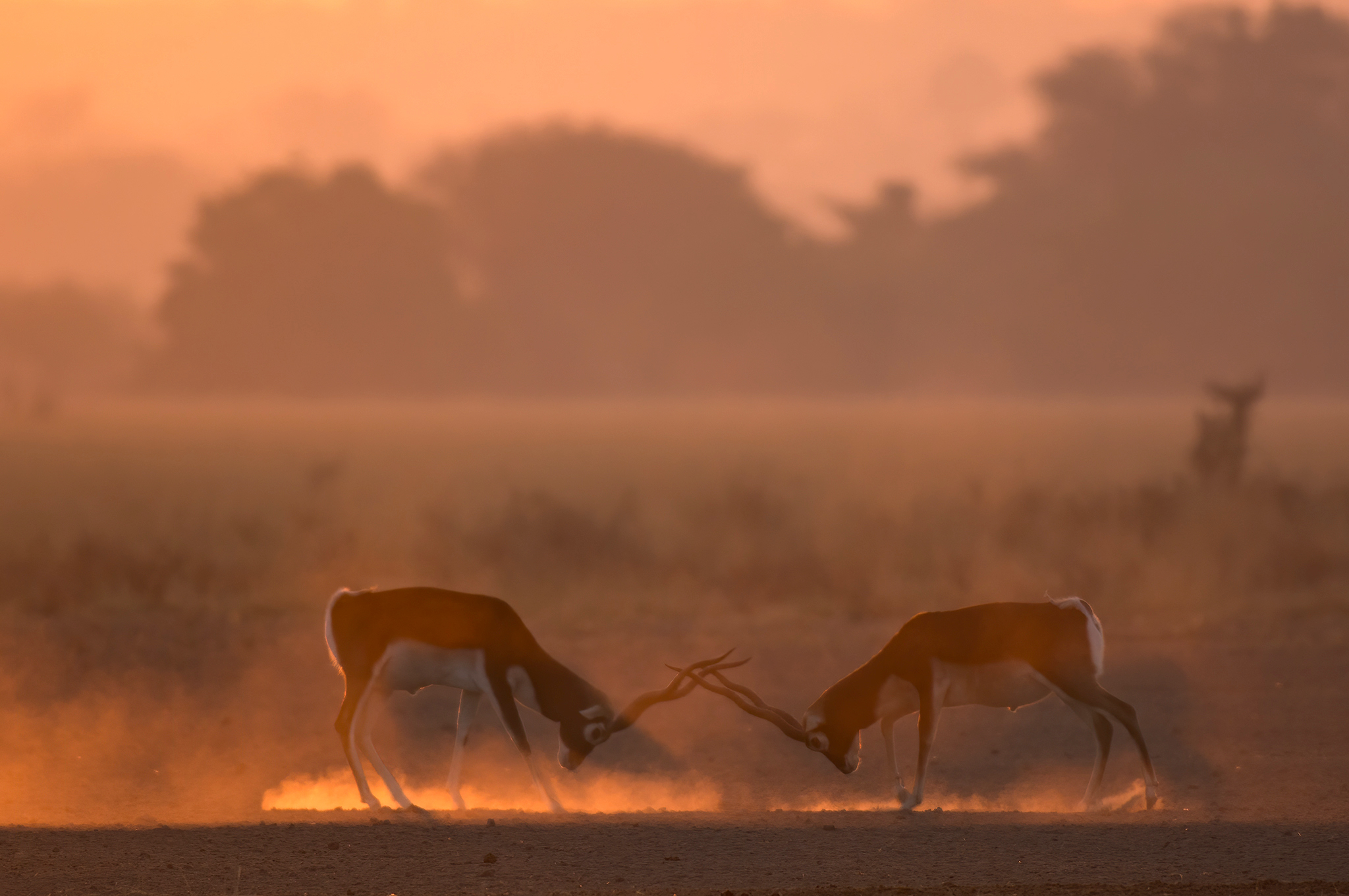 Rival blackbucks lock horns, jostle, and try to gore each other to take possession of a territory.