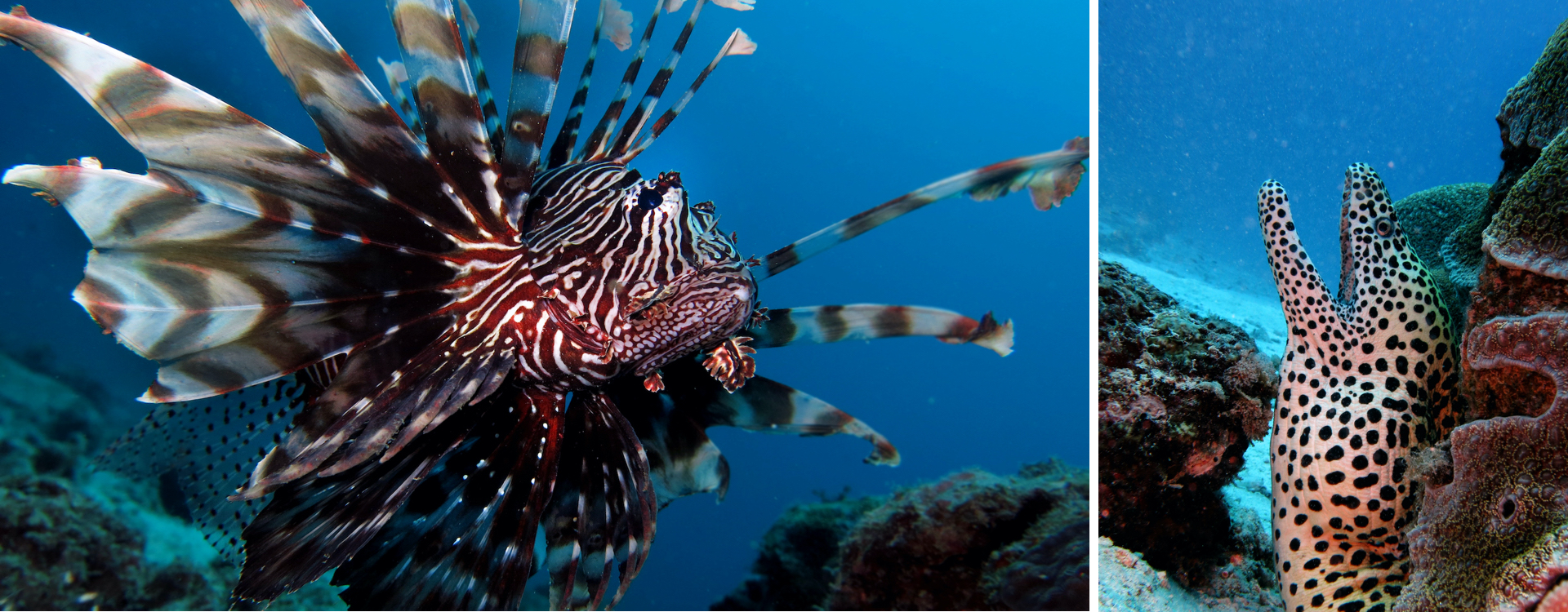 (Left) The lionfish is native to the South Pacific and Indian Oceans. This slow mover relies on its unusual colouration and fan-like fins to deter predators. (Right) Found across the West Pacific and Indian Oceans, the honeycomb moray eel is usually seen sticking out from holes and small caves in a reef. It can grow up to two metres in length, making it one of the longest species of moray eels. Photos: Vardhan Patankar