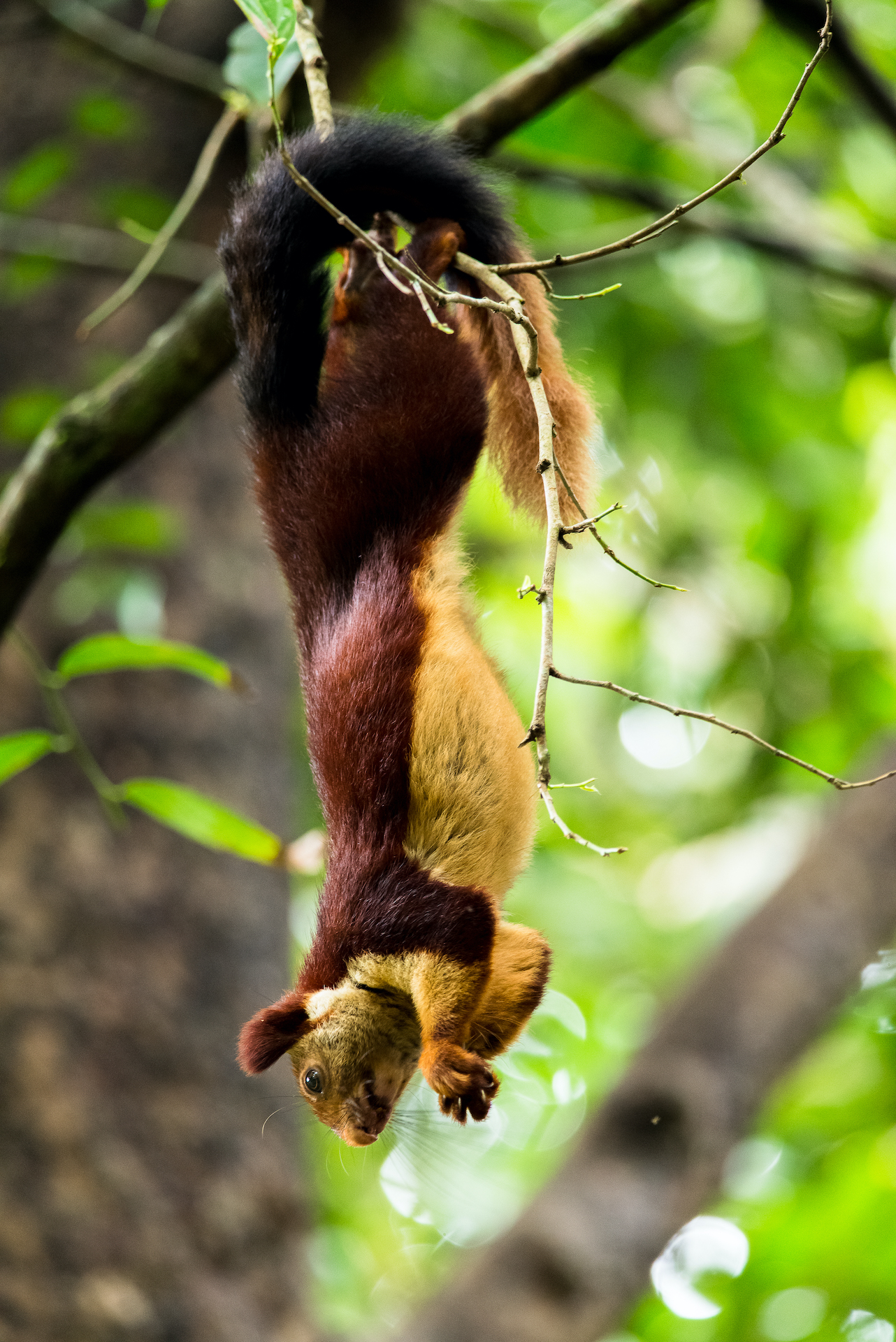 "An acrobatic climber, the Indian giant squirrel will often hang by its hindlegs and use its tail for balance while feeding. Though these squirrels are naturally shy and wary, they can become habituated to humans and take food offered by them. ""Indian giant squirrels can be seen taking food from the hands of pilgrims trekking up the forest trail to the Tirumala temple in Andhra Pradesh. This has also been reported from other locations,"" says Rajamani.  Photo: Manojiritty, CC BY-SA 4.0"