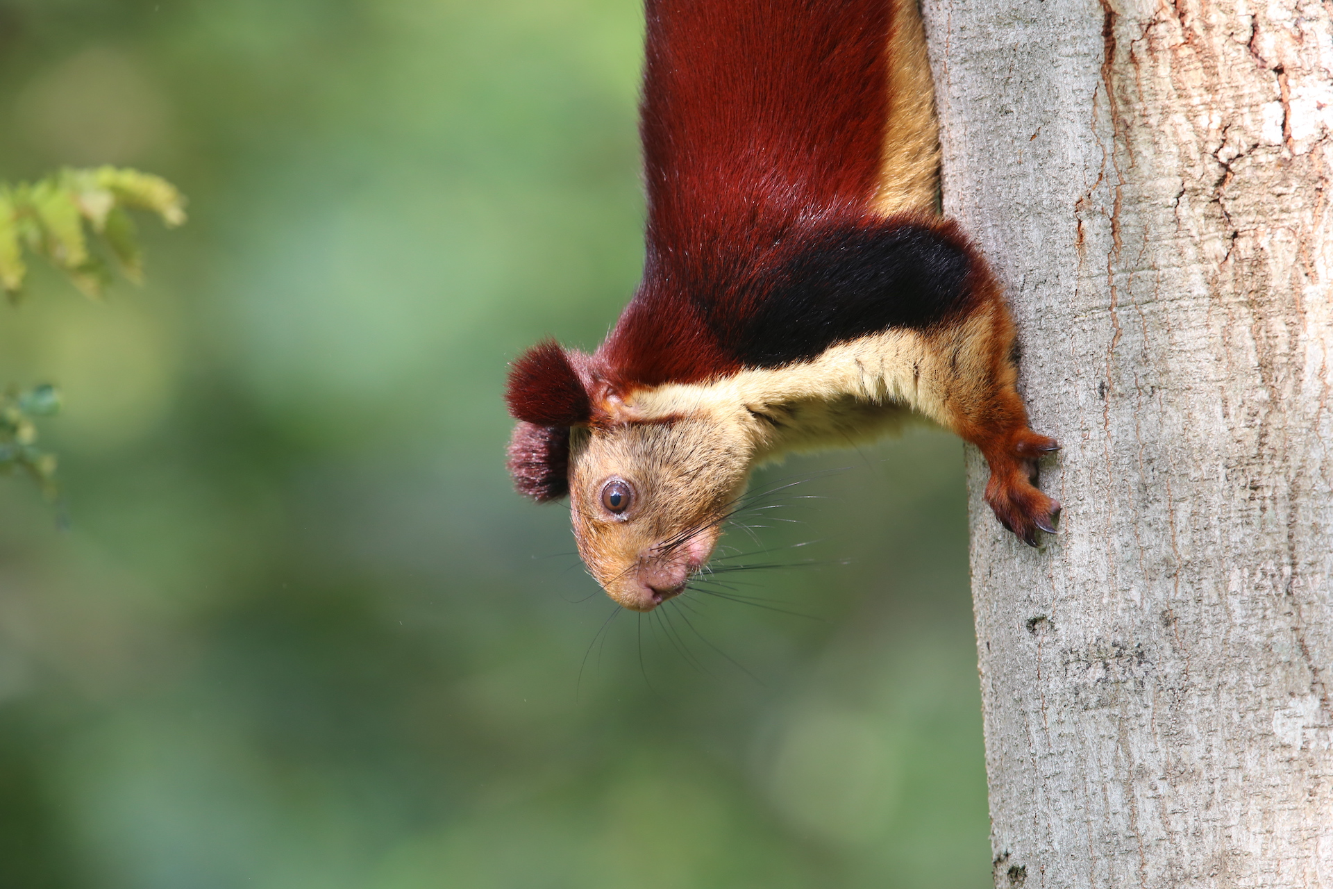 "The Indian giant squirrel makes a series of high-pitched and staccato chirrups, which carry over long distances in the forest. Rajamani, whose lab is studying their acoustics, likens them to the sound of toy machine guns. ""It sounds extra loud, given the size of the animal. There is no other sound in the forest quite like it,"" she says.  ""We have recorded around six to seven different types of calls made by Indian giant squirrels,"" she adds.  Photo: Surya Ramachandran"