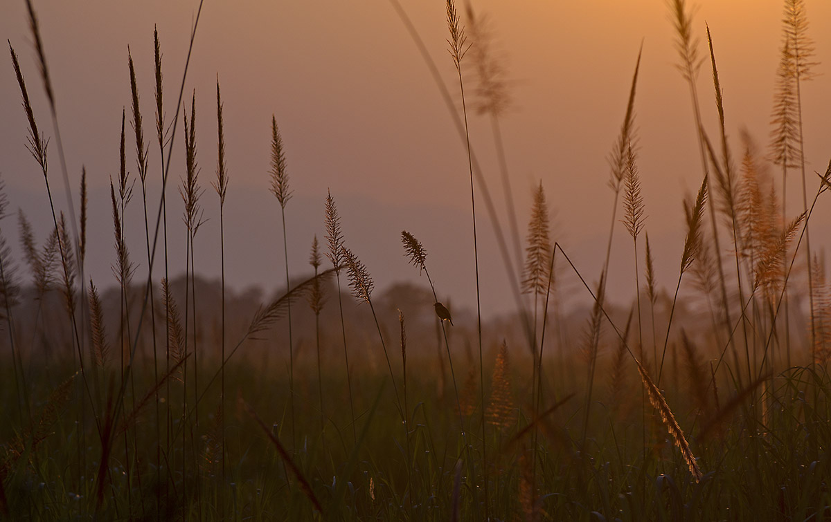 A bird perched on a blade of grass. Photo: Dhritiman Mukherjee