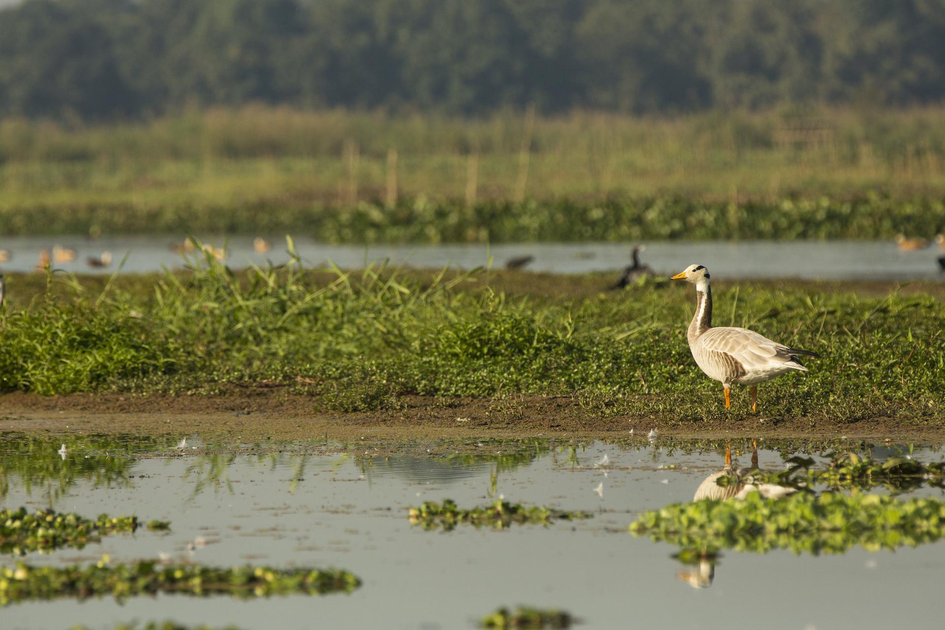A bar-headed goose in Assam's Dibru Saikhowa National Park. Photo: Mayank Soni