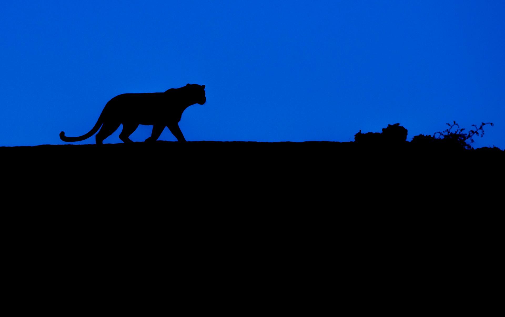 Muskaan: The Leopard Queen of Kumbhalgarh