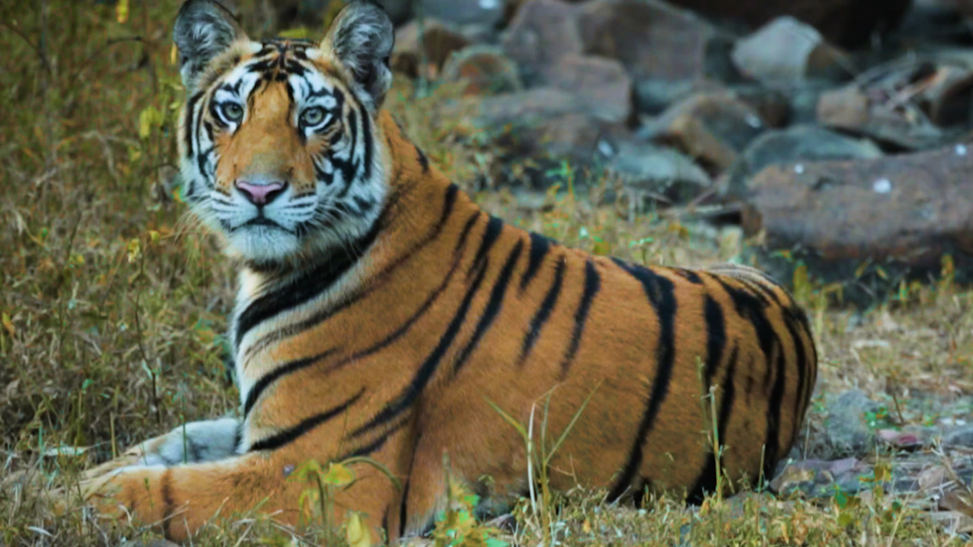 Return of the King: How Panna National Park Got its Tigers Back