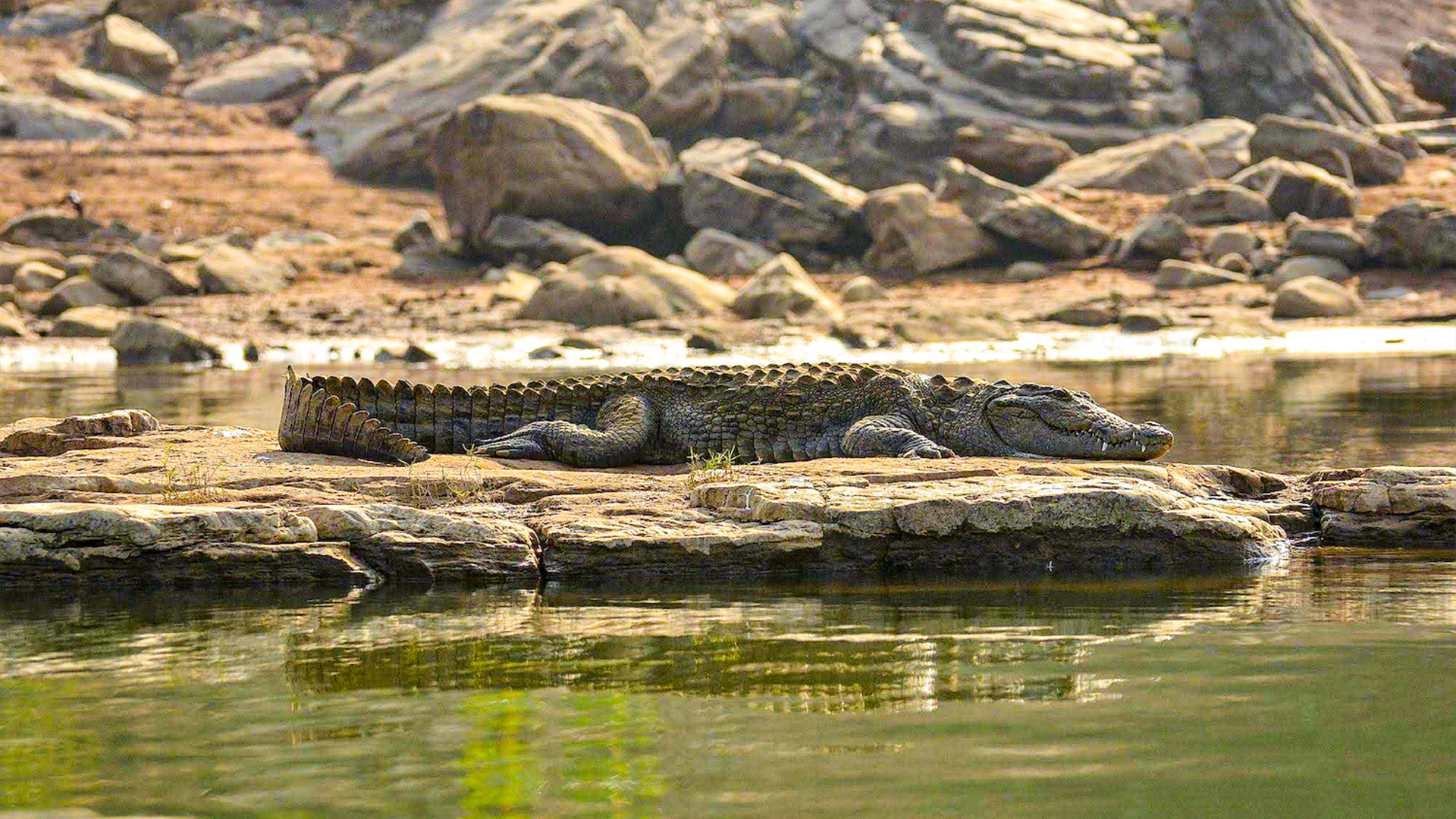 Strategy and Stealth: The Everyday Life of a Marsh Crocodile