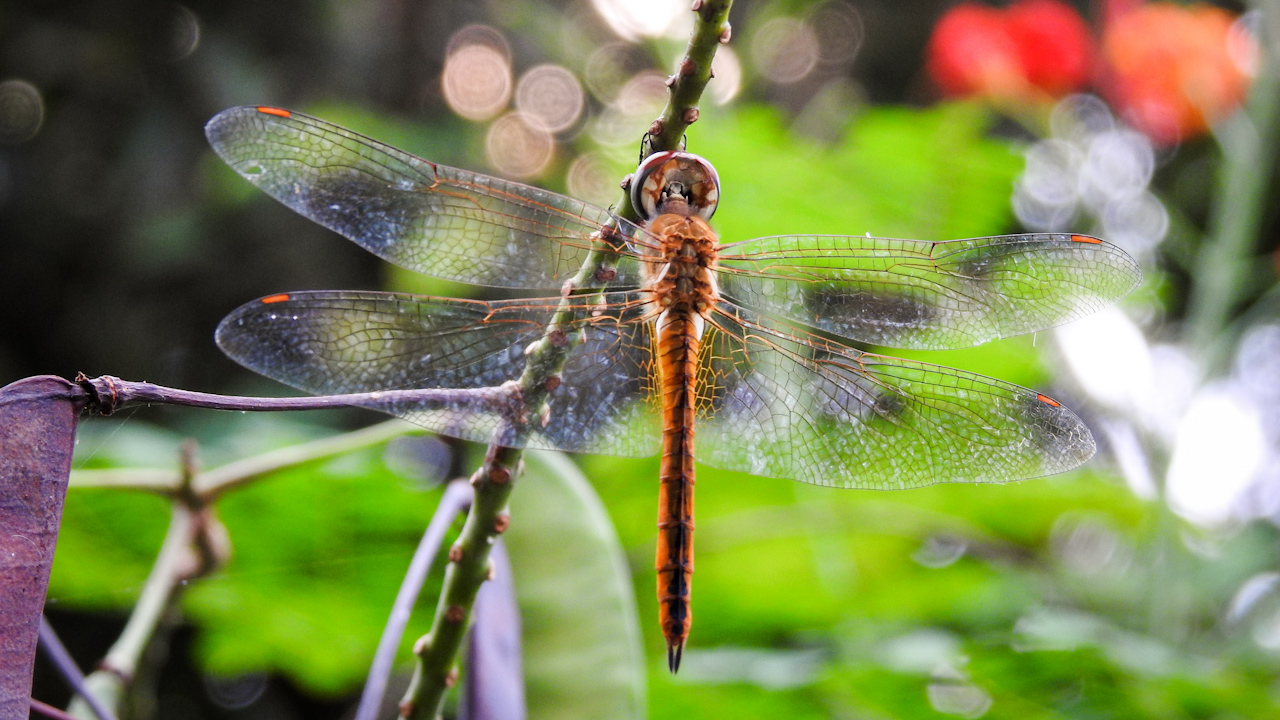Globe Skimmer: The Dragonfly that Flies from India to Africa