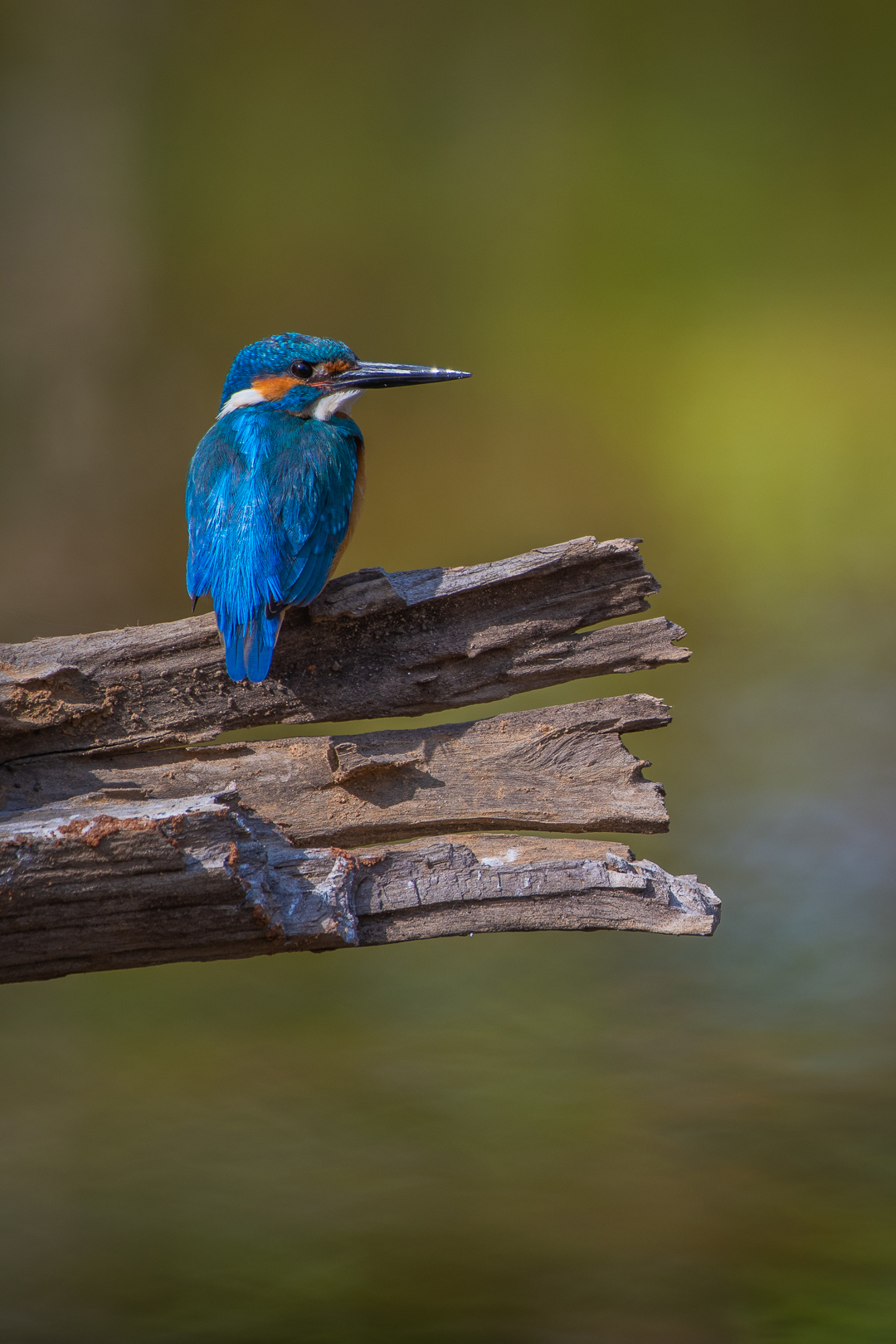 When viewed from a safe distance, common kingfishers are remarkably cooperative photographic subjects, as is this one spotted in Bandhavgarh. Photo: Aditya Panda