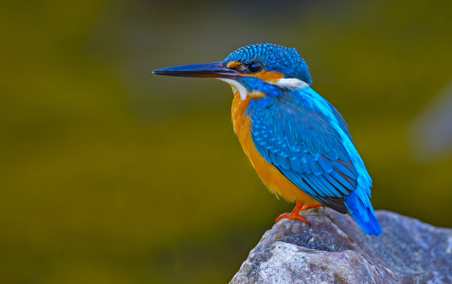 Common Kingfisher: The Bolt of Blue