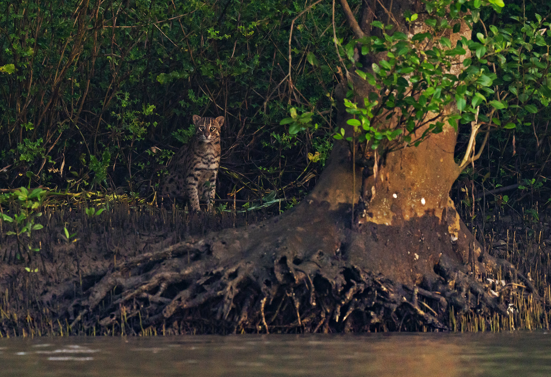 Securing the Fishing Cat's Future in the Chilika Lagoon