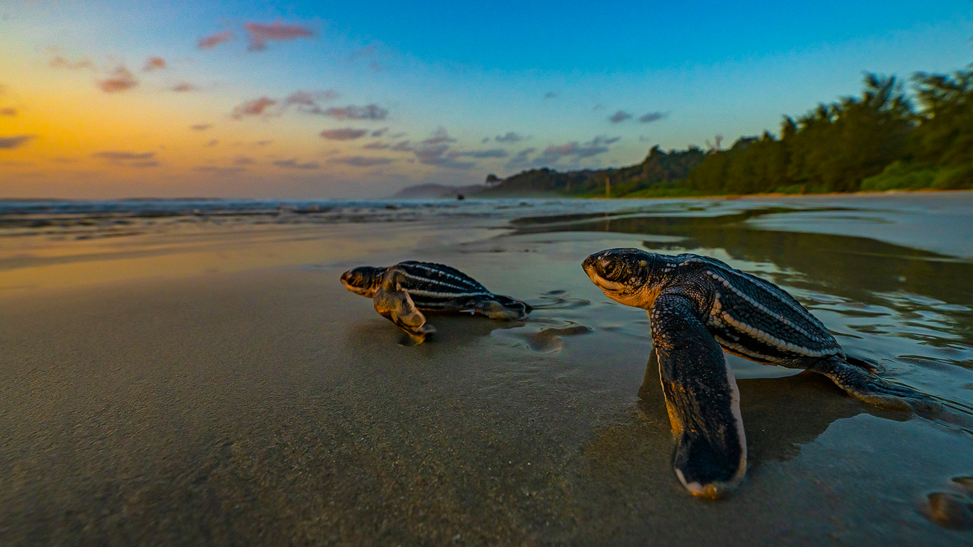 Galathea Bay: Will the World's Largest Sea Turtle Return to Nest in India?
