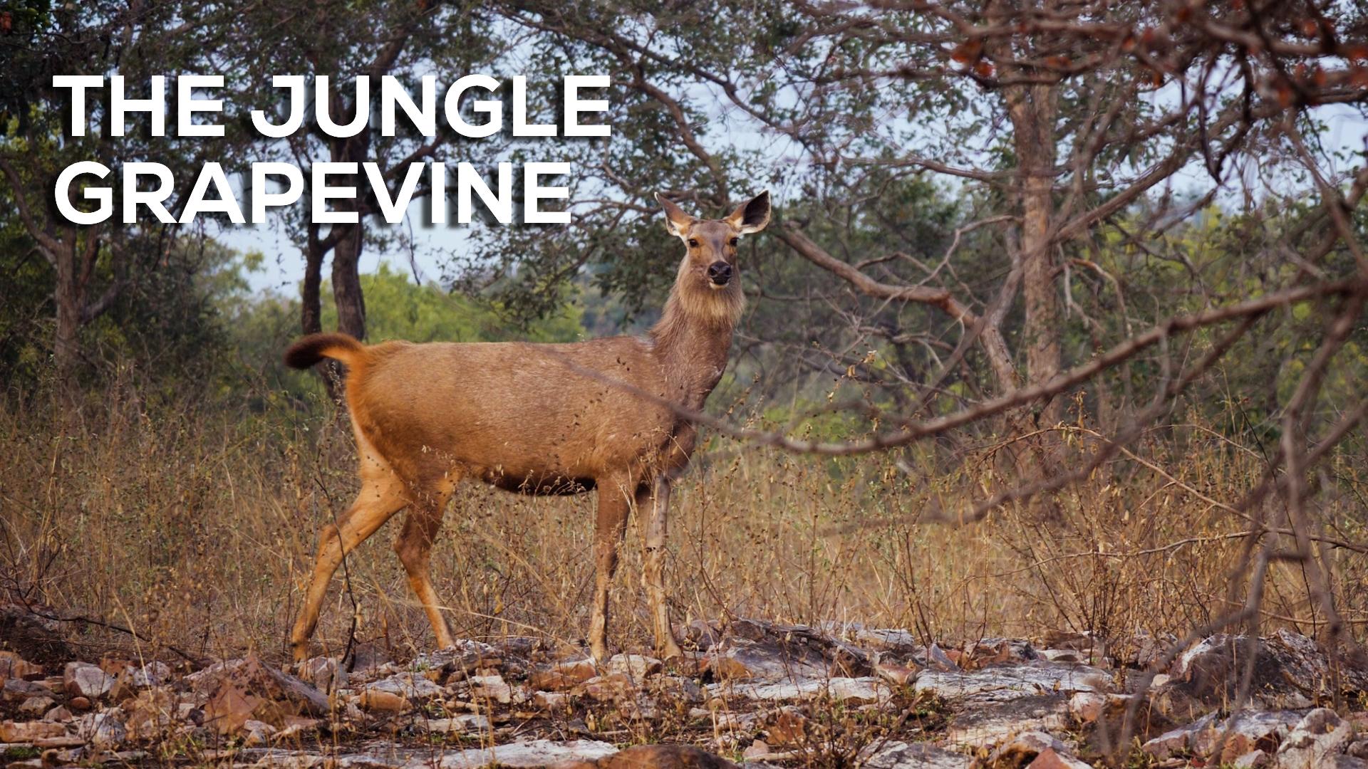 Red Alert: When a Leopard Hunts, the Jungle Grapevine Buzzes