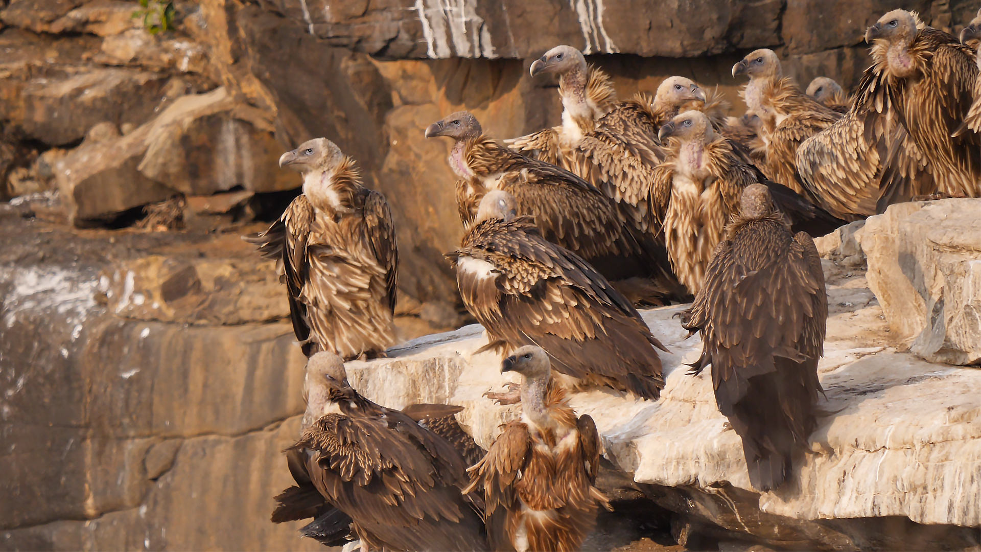 Why Vultures of Panna May Lose their Cliff-Side Homes